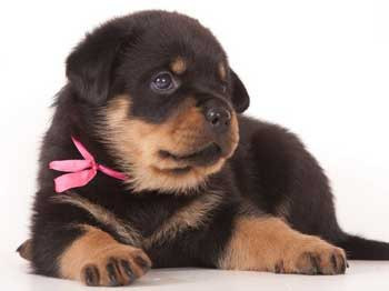 Корм для щенков крупных пород Royal Canin Maxi Starter