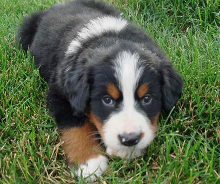 Корм для молодых активных собак гигантских пород Royal Canin Giant Junior Active