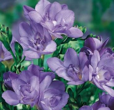 Фрезия голубая махровая 5 шт