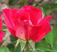 Роза Ги Савой. (в). Шраб.  , фото 1