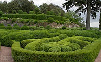 Сантолина саженцы декоративных растений сантолины