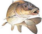 Коропова рибалка