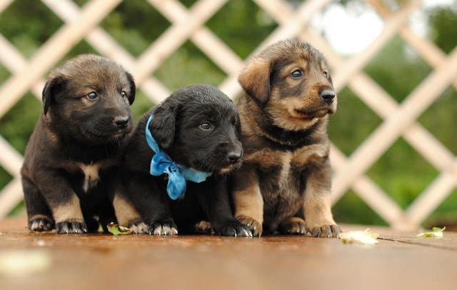 Корм для молодых активных собак крупных пород Royal Canin Maxi Junior Active