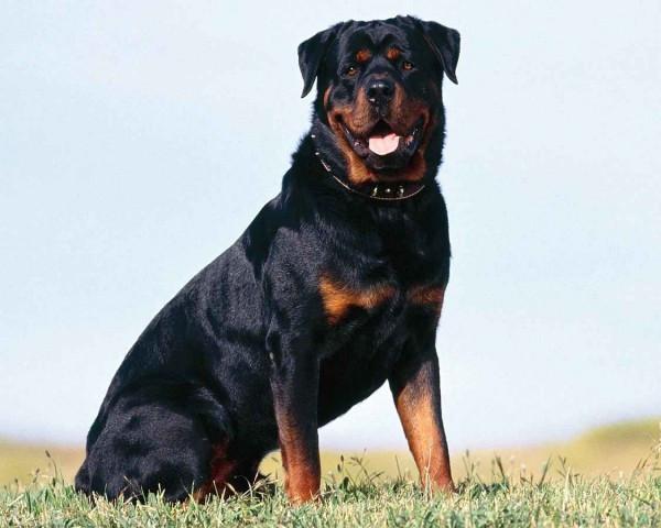 Корм для собак крупных пород с чувствительной кожей Royal Canin Maxi Dermacomfort
