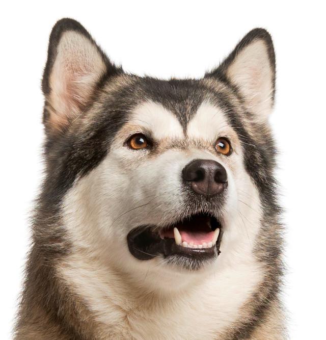 Корм для собак крупных пород с чувствительными суставами Royal Canin Maxi Joint Care