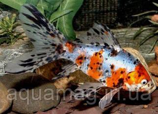 Рыбка Шубункин (Калико) (8 - 11 см)