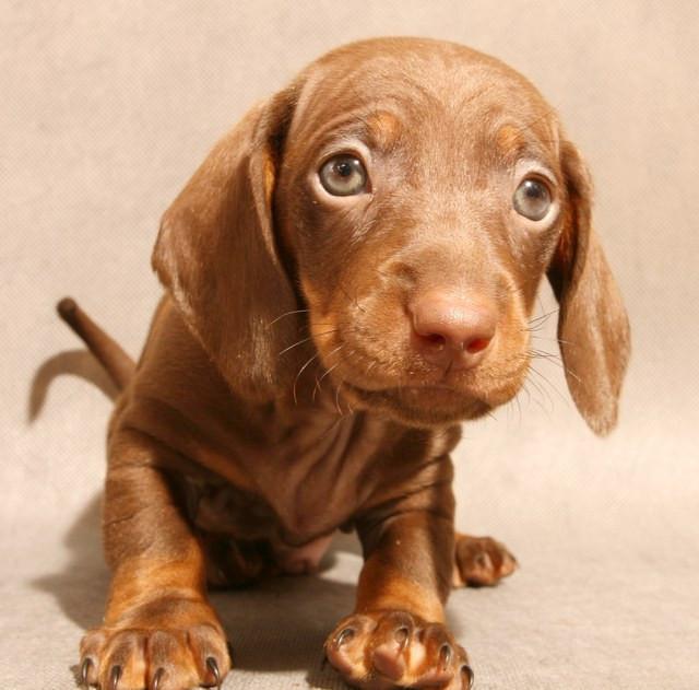 Корм для щенков таксы Royal Canin Dachshund Junior