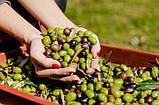 Нефильтрованное оливковое масло Piesse Piccardo e Savore Extra Vergine 1 л., фото 5