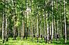 """Фотообои """"Березовый лес"""""""