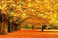 """Фотошпалери """"Осінні дерева"""" - Будь-який розмір! Читаємо опис!"""