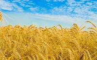 """Фотообои """"Пшеница"""", Фактурная текстура (холст, иней, декоративная штукатурка)"""