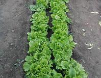 Семена салата Одесский Кучерявец
