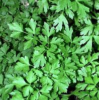 Семена петрушки листовая Карнавал оптом в Украине