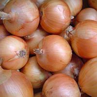 Семена лука  Халцедон (крупный опт от 1т. -170грн)