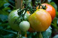 Семена  Томата  Аризона оптом