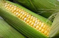 Насіння кукурудзи Подільський 274 СВ.