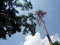 Видалення дерев (067) 232 77 81, фото 1
