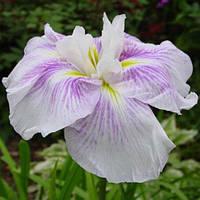 Ирис мечелистный Когэшо - Iris ensata Kogesho (вторая ц.г.)