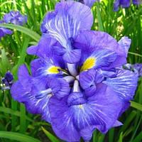 Ирис мечелистный Электрик Райз - Iris ensata Electric Rays (вторая ц.г.)