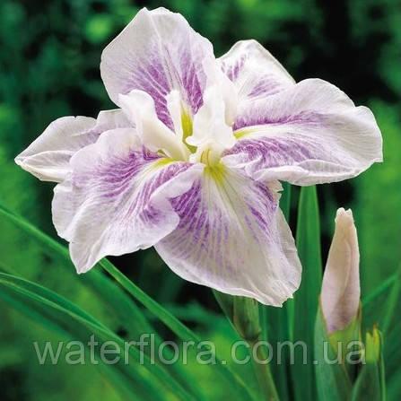 Ирис мечелистный Когэшо - Iris ensata Kogesho