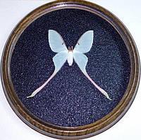 Сувенир - Бабочка в рамке Actias dubernardi f. Оригинальный и неповторимый подарок!