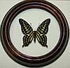 Сувенир - Бабочка в рамке Graphium agamemnon. Оригинальный и неповторимый подарок!