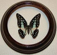 Сувенир - Бабочка в рамке Graphium doson. Оригинальный и неповторимый подарок!, фото 1