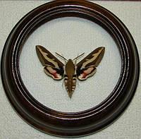 Сувенир - Бабочка в рамке Hyles gallii. Оригинальный и неповторимый подарок!