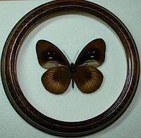 Сувенир - Бабочка в рамке Euploea magou. Оригинальный и неповторимый подарок!