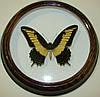Сувенир - Бабочка в рамке Papilio androgeus m. Оригинальный и неповторимый подарок!
