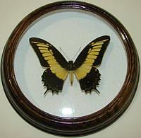 Сувенир - Бабочка в рамке Papilio androgeus m. Оригинальный и неповторимый подарок!, фото 1