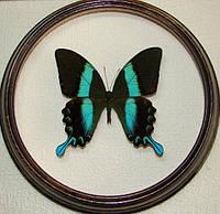 Сувенир - Бабочка в рамке Papilio blumei. Оригинальный и неповторимый подарок!