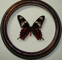 Сувенир - Бабочка в рамке Papilio hector. Оригинальный и неповторимый подарок!, фото 1