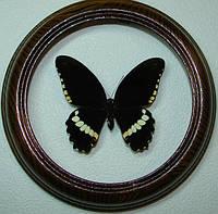 Сувенир - Бабочка в рамке Papilio polytes m. Оригинальный и неповторимый подарок!