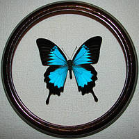 Сувенир - Бабочка в рамке Papilio ulysses. Оригинальный и неповторимый подарок!