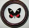 Сувенир - Бабочка в рамке Parides iphidamas. Оригинальный и неповторимый подарок!