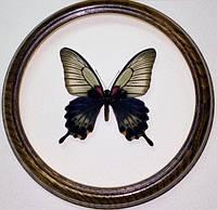 Сувенир - Бабочка в рамке Papilio lowi f. Оригинальный и неповторимый подарок!