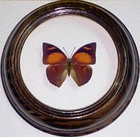 Сувенир - Бабочка в рамке Anaea ryphea. Оригинальный и неповторимый подарок!