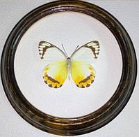 Сувенир - Бабочка в рамке Delias candida. Оригинальный и неповторимый подарок!