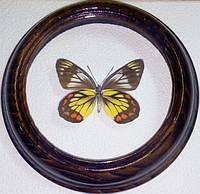 Сувенир - Бабочка в рамке Delias rosenbergi. Оригинальный и неповторимый подарок!