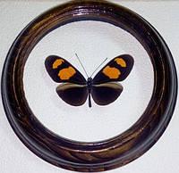 Сувенир - Бабочка в рамке Heliconius erato microclea. Оригинальный и неповторимый подарок!