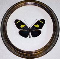 Сувенир - Бабочка в рамке Heliconius sara. Оригинальный и неповторимый подарок!