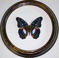 Сувенир - Бабочка в рамке Limenitis lymire. Оригинальный и неповторимый подарок!