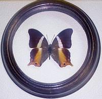 Сувенир - Бабочка в рамке Palla violinitens. Оригинальный и неповторимый подарок!