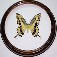 Сувенир - Бабочка в рамке Papilio cresphontes. Оригинальный и неповторимый подарок!