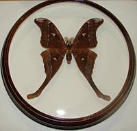 Сувенир - Бабочка в рамке Coscinocera hercules m. Оригинальный и неповторимый подарок!