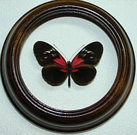 Сувенир - Бабочка в рамке Heliconius ssp.. Оригинальный и неповторимый подарок!