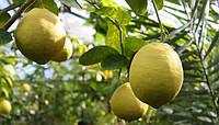 Лимон комнатный Юбилейный (не требует прививки) - укорененный черенок