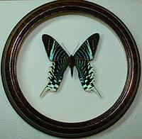 Сувенир - Бабочка в рамке Urania leilus. Оригинальный и неповторимый подарок!