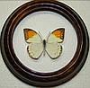 Сувенир - Бабочка в рамке Hebomoia glaucippe f. Оригинальный и неповторимый подарок!